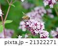 ニホンミツバチ 21322271