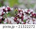 ニホンミツバチ 21322272