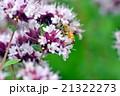 ニホンミツバチ 21322273