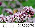 ニホンミツバチ 21322279