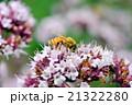 ニホンミツバチ 21322280