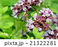 ニホンミツバチ 21322281