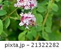 ニホンミツバチ 21322282