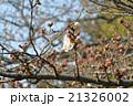 桜の開花 21326002