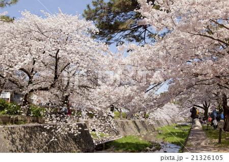 夙川公園 満開の桜 21326105