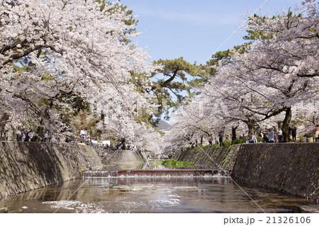 夙川公園 満開の桜 21326106