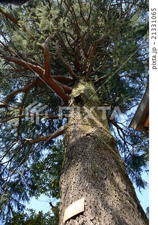 風に靡く樹齢100年・高さ30メートルのヒマラヤスギの大樹 21331065