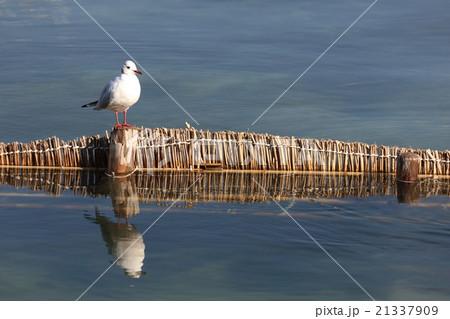 室見川の野鳥 ユリカモメ シロウオ コガモ 21337909