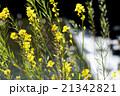 川辺に咲く菜の花と背景で輝く滝 21342821