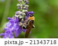 ブルーサルビアの花にとまる蜂 21343718