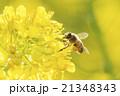 ミツバチ ハチ 蜂の写真 21348343