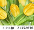 チューリップ チューリップ 春のイラスト 21358646