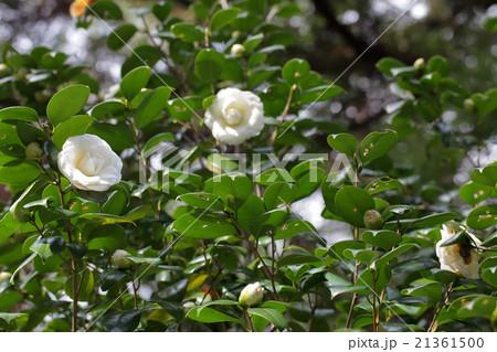 白角倉・ツバキの花と木漏れ日 21361500