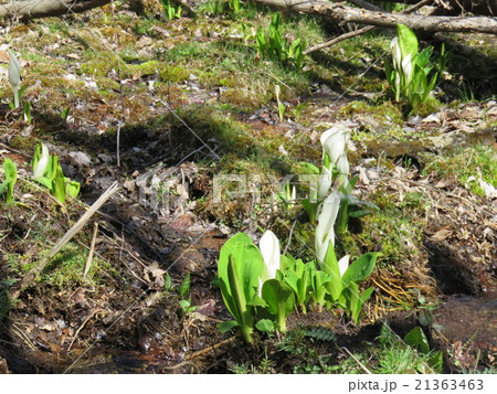 ミズバショウの咲く風景 21363463