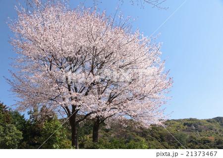 八京の夫婦桜 21373467
