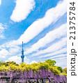 亀戸天神、藤の花と東京スカイツリー 21375784