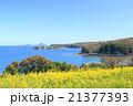豊後高田 長崎鼻の菜の花畑と遠くに見える姫島 21377393