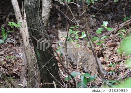 山に住む野良猫 21380950