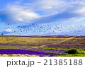 ラベンダー ラベンダー畑 花畑の写真 21385188