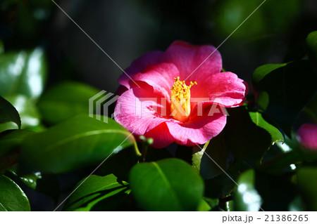 ピンク色の椿 ヤブツバキ系の花 21386265