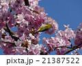 鳥 メジロ 春の写真 21387522