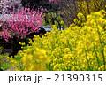 早春の里山の菜の花と梅 21390315