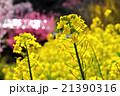 早春の里山の菜の花 21390316
