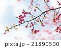 ヒマラヤヒザクラ/ヒマラヤ緋桜 21390500