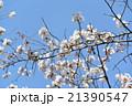 桜 21390547