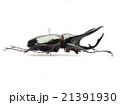 ジャワ産コーカサスオオカブト♂ 21391930