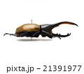 トリニダード産ヘラクレオオカブト♂亜種トリニダエンシス 21391977