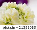 白いストックの花 21392035