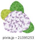 紫陽花 21395253