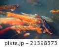 錦鯉 21398373