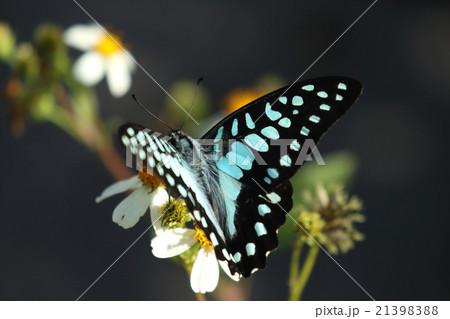 生き物 昆虫 ミカドアゲハ、沖縄、八重山亜種。翅の模様がアオスジアゲハのようなきれいな水色です 21398388