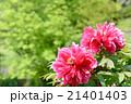 牡丹の花 新緑背景 21401403