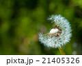 タンポポの綿毛 21405326