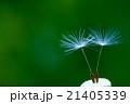 たんぽぽの綿毛 21405339