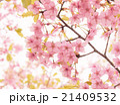 ピンクの河津桜 21409532
