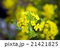 春の菜の花 21421825