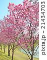桜 花 春の写真 21434703