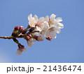 染井吉野 桜 花の写真 21436474