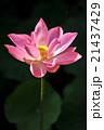 ハスの花(Lotus) バリ島 21437429