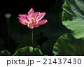 ハスの花(Lotus) バリ島 21437430