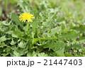 セイヨウタンポポ タンポポ 蒲公英の写真 21447403