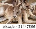 カンガルー 動物 有袋類の写真 21447566