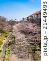 桜 春 桜並木の写真 21449493