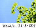 新緑 葉 若葉の写真 21454654