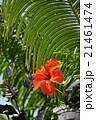 ハイビスカスの花(バリ島) 21461474