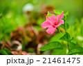 ハイビスカスの花(バリ島) 21461475